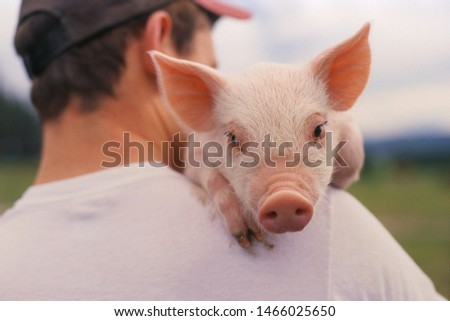 beijing/china-06/11/2019 photo of  a pig in beijing  #1466025650