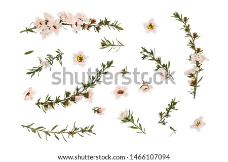 closeup of white manuka tree flowers and twigs arranged on white background #1466107094