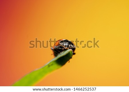 Far away shot of an orange lady bug with black spots sitting on the tip of a green grass with a beautiful orange and yellow background