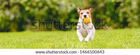 Small happy dog playing with pet toy ball at backyard lawn (panoramic crop with copy space) #1466500643