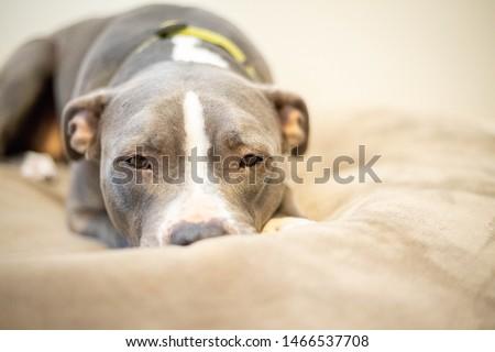 Pitbull laying down at home