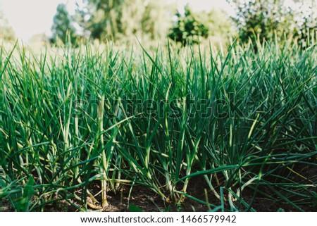 Fresh green onions growing in the garden #1466579942