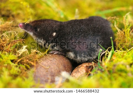 adult water shrew searching for invertebrates in moss #1466588432