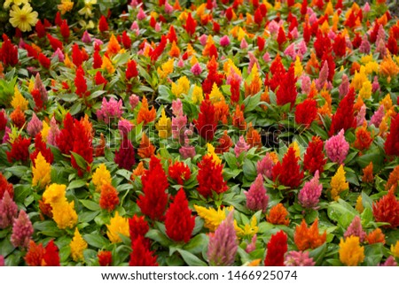 A garden full of warm colored celosia flowers #1466925074