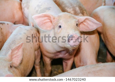 Many small piglets on farms in rural areas fed with organic farming. Pigs in the enclosure are mammals. #1467023240