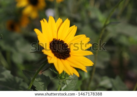 suraj mukhi flower my great way to take pic of sun flower most beautifull pic yellow sun flower