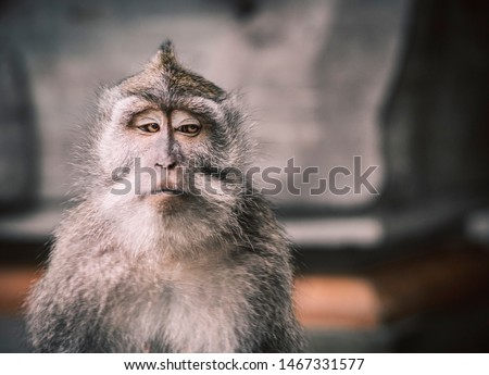A close up picture of a balinese monkey with a serious face that looks the other way creating a very memeable picture. Space for write/type. Funny animal photos. Portraiture photography.