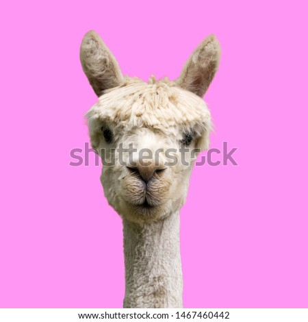 Funny alpaca on pink background #1467460442