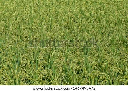 Field with green rice stalks . Ubud, island Bali, Indonesia. Close up green rice terraces #1467499472