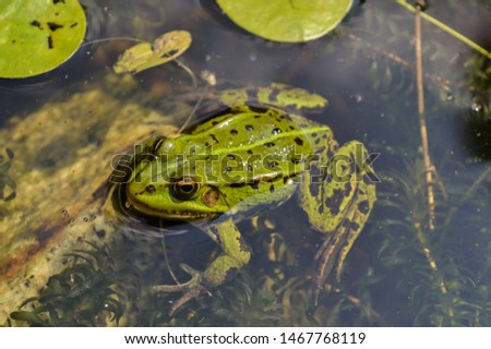 green frog swimming in the pond #1467768119