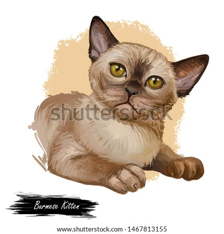 Burmese cat isolated on white background. Digital art illustration of hand drawn kitty for web. Short haired kitten with silky coat and deep yellow eyes. Lying pet with dark sable brown fur watercolor