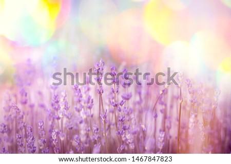 Flowering - blooming lavender flower, beautiful nature in my flower garden  #1467847823