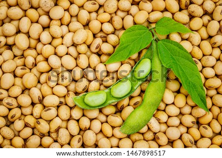 Soy bean, close up.  Open green soybean pod on dry soy beans background. Green soybean pod on dry soy beans background.  #1467898517