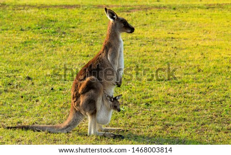 Australian kangaroo enjoying the afternoon sun in a paddock with a baby joey in its pouch