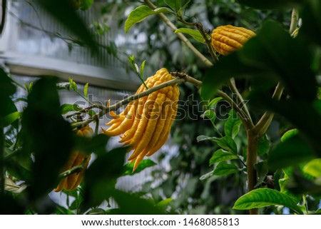 Citrus medica var. sarcodactylis, or the fingered citron, is an unusually shaped citron variety whose fruit is segmented into finger-like sections, resembling a human hand. It is called Buddha's hand. #1468085813