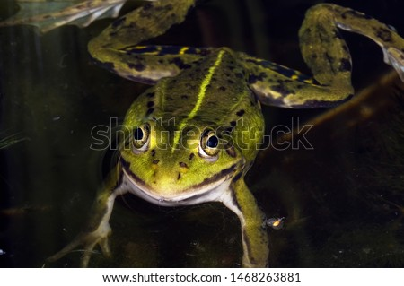 Green frog lying on the water waiting for prey. Macrophotography #1468263881