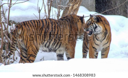 Couple of tigers in snow. Male and female tiger playing on snow in Warsaw zoo in Poland. Frontal and side view. #1468308983