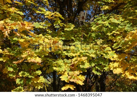 Colorful foliage of maple in mid October #1468395047