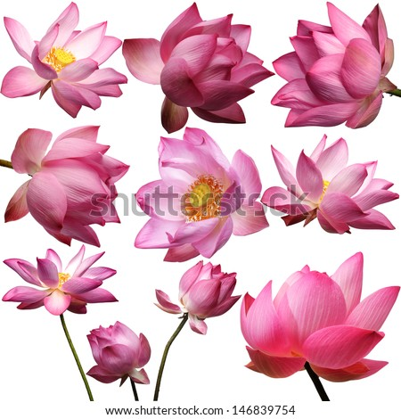 template of beautiful lotus flower isolated on white background.