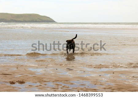 Proud staffordshire bull terrior running on beach #1468399553