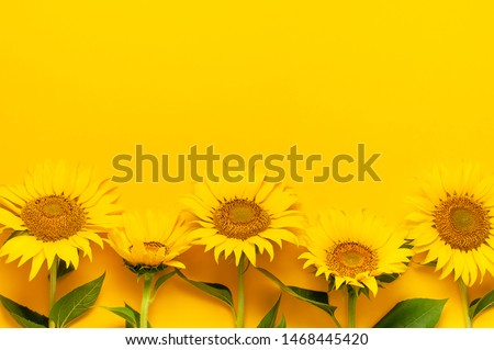 Beautiful fresh sunflowers with leaves on stalk on bright yellow background. Flat lay, top view, copy space. Autumn or summer Concept, harvest time, agriculture. Sunflower natural background. #1468445420