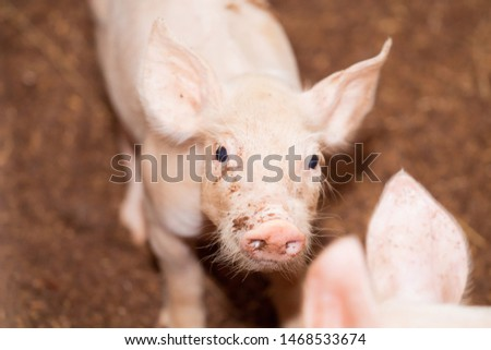 Soft images of piglets raised in organic pig farms #1468533674