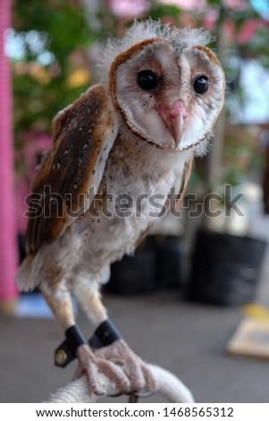 Serak Bukit, Phodilus Badius Owl or Oriental Bay Owl, Close up Face Picture during Closing it's Eyes