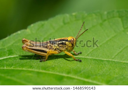 A Spur-throated Grasshopper is resting on a green leaf. Taylor Creek Park, Toronto, Ontario, Canada.