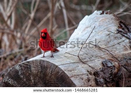 Beautiful male Cardinal posing for a picture in Bastrop State Park, TX