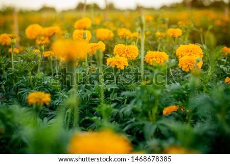Marigolds (Tagetes erecta, Mexican marigold, Aztec marigold, African marigold) #1468678385
