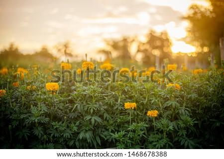 Marigolds (Tagetes erecta, Mexican marigold, Aztec marigold, African marigold) #1468678388