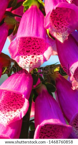 flowers of purple foxglove, Digitalis purpurea, #1468760858