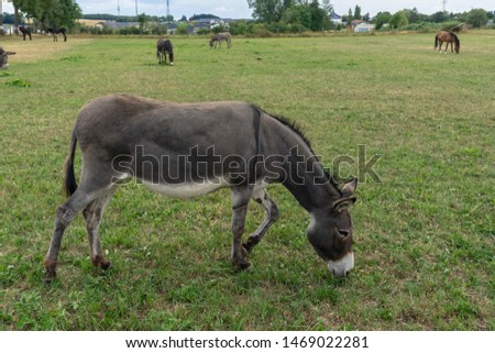 Portrait of a donkey. Gray cute donkey walks in a pen in the countryside. Donkey on the eco farm eating on green grass. Peaceful picture of grazing animals in the village.