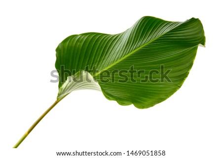 Calathea lutea foliage,(Cigar Calathea, Cuban Cigar),Calathea leaf,Exotic tropical leaf, isolated on white background. #1469051858