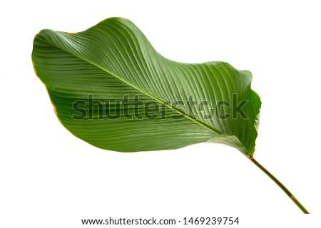 Calathea lutea foliage,(Cigar Calathea, Cuban Cigar),Calathea leaf,Exotic tropical leaf, isolated on white background. #1469239754