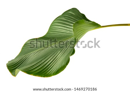Calathea lutea leaf(Cigar Calathea, Cuban Cigar),Calathea leaf,Exotic tropical leaf, isolated on white background. #1469270186