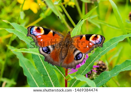 Close up of a Peacock butterfly perched on a purple thistle