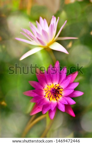 Colorful Nymphaea lotus on bokeh background. #1469472446