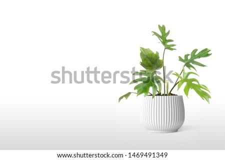 Adam's Rib Plant flowerpot vase isolated on white background. #1469491349