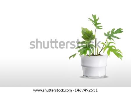 Adam's Rib Plant flowerpot vase isolated on white background. #1469492531