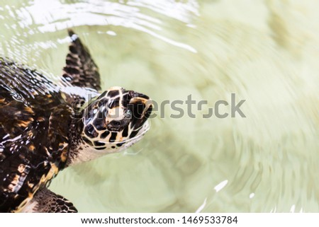 Sea turtle breathing the air by raising its head reach to water surface, with copy space background. #1469533784