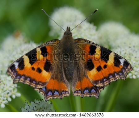 Tortoiseshell butterfly on cow parsley flower #1469663378