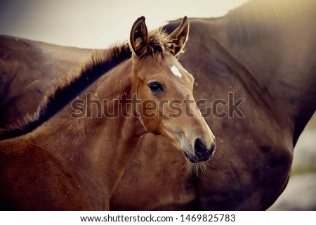 Portrait of a red foal sporting breed with a mare. Small horse. Foal with an asterisk on a forehead. #1469825783