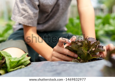 Selective focus at vegetable plant take care by a young Asian boy hand. #1469832977