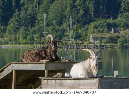 Goatbuck enjoys the summer on a boat dock at the Achensee #1469848787