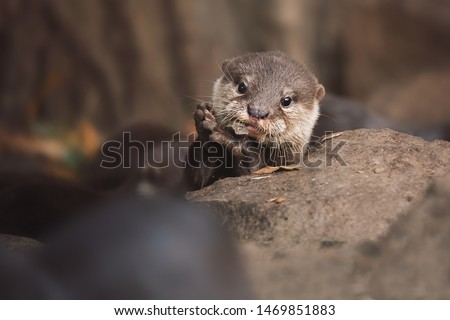 Otter (Lutra Lutra) and her cuteness and her funny face