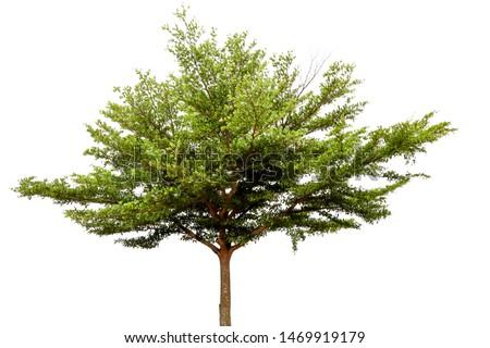 The Tree (Terminalia ivorensis chevy) isolated on white background. #1469919179