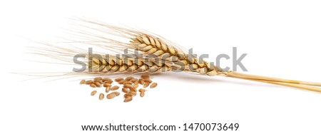 spikelets with wheat on a white background Royalty-Free Stock Photo #1470073649