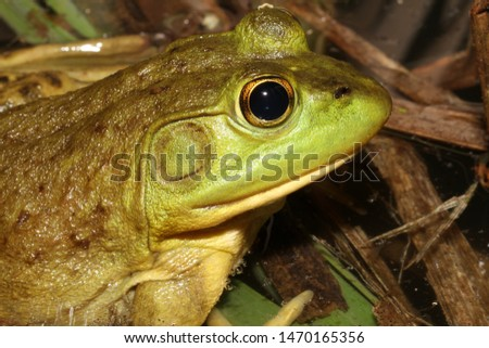 Profile view of a female American Bullfrog's head. You can tell it is a female because the ear (tympanum) is about the size of her eye.  Male bullfrogs would have a much larger ear.  #1470165356