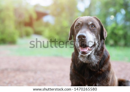 Dog shy guilty is a shelter hound dog waiting looking up with lonely eyes an intense stare outdoors in nature Morning sunlight. Pets concept. #1470265580